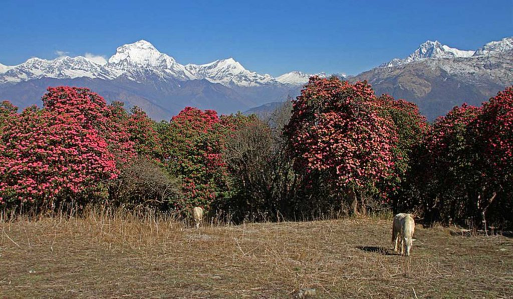 Ghorepani-Poon-Hill-Trek-6-Days